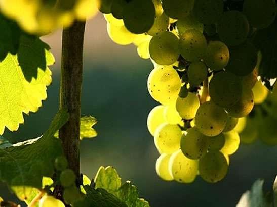uva-albarino