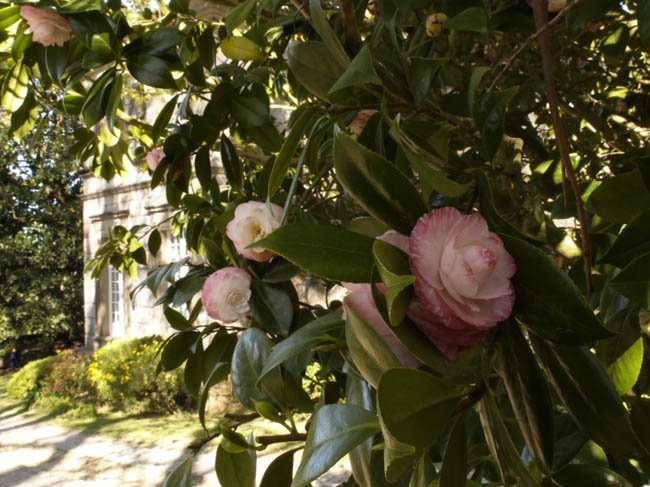 Paseando entre jardines: descubre la ruta de las camelias (4ª parte).